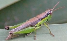 screenshot_2019-07-27-rice-grasshopper.jpg